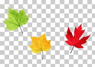 Maple Leaf Autumn PNG
