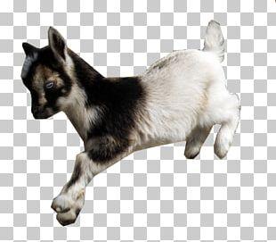American Lamancha Goat Nigerian Dwarf Goat Fainting Goat Cat Animal PNG