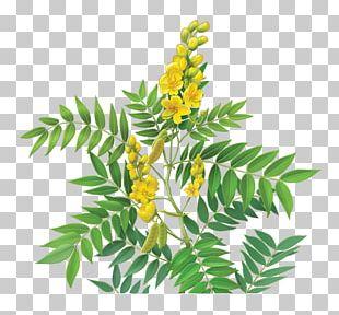 Tea Alexandrian Senna Dietary Supplement Purple Coneflower Senna Glycoside PNG