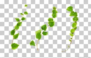 Common Ivy Vine Plant Stock Photography PNG