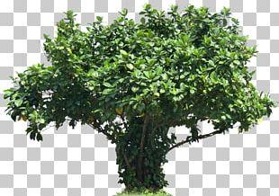 Tree Plant Shrub Plectranthus Scutellarioides PNG