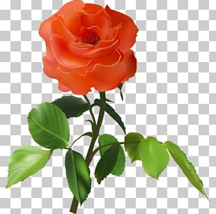 Garden Roses Floribunda Cabbage Rose Beach Rose China Rose PNG