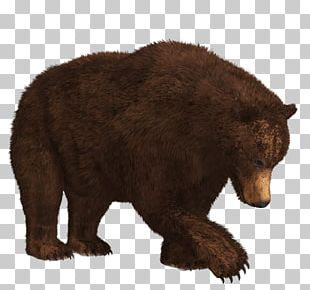 Searching Bear PNG