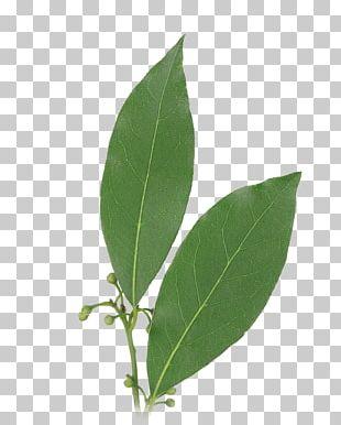 Bay Leaf Herb Bay Laurel Food PNG