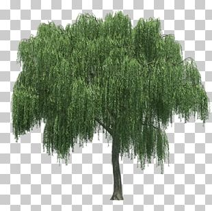 Weeping Willow Tree Rendering PNG