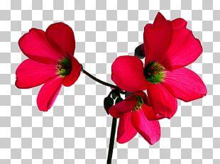 Flower Rose Desktop Red PNG