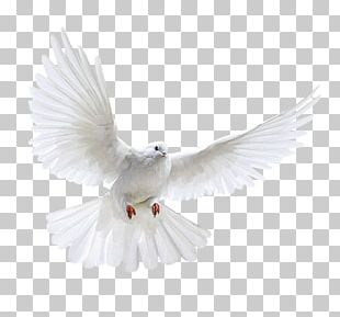 Columbidae Domestic Pigeon Bird Flight PNG