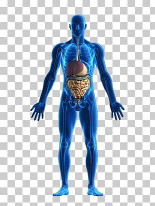 Human Body Organ System Stock Photography Homeostasis PNG