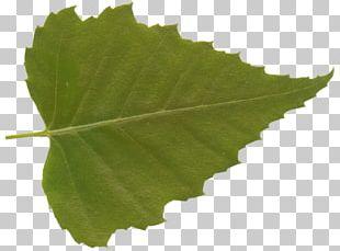Grape Leaves Plane Trees Leaf Grapevines Plane Tree Family PNG