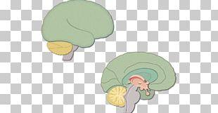Human Brain Diencephalon Anatomy Cerebrum PNG
