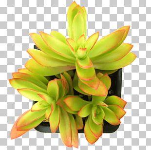 Succulent Plant Crassula Capitella Echeveria Jade Plant PNG