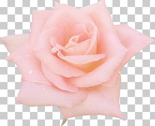 Flower Rose Drawing Pink PNG