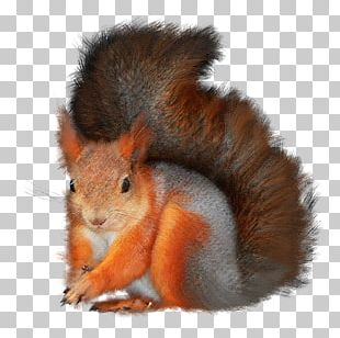 Tree Squirrels Red Squirrel Animal PNG