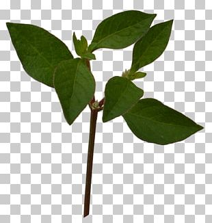 Plant Leaves Leaf PNG