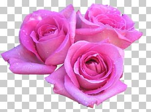 Rose Flower Pink 1080p High-definition Television PNG