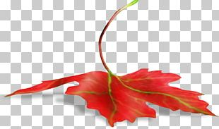 Maple Leaf Branch PNG