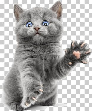 Burmese Cat Russian Blue Ragdoll Bengal Cat Kitten PNG