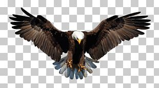 Bald Eagle Bird Stock Photography Drawing PNG