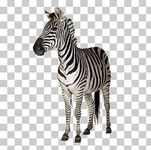 Burchells Zebra Stripe Stock Photography Wall Decal PNG