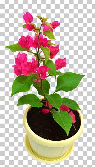 Houseplant Bougainvillea Glabra Vine Flowerpot PNG