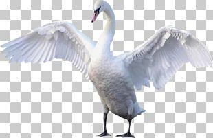 Goose Cygnini Bird PNG