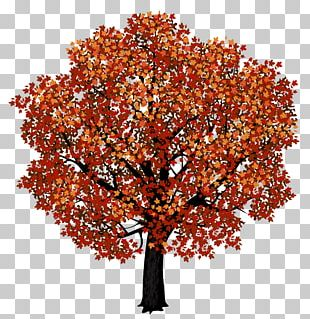 Red Maple Japanese Maple Autumn Leaf Color PNG