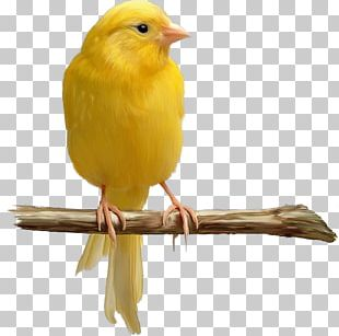Domestic Canary Bird Yellow Canary Color PNG
