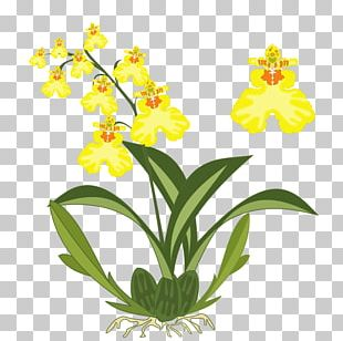 Dancing-lady Orchid Plant Flower PNG