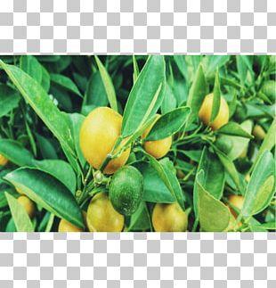 Habanero Bird's Eye Chili Tabasco Pepper Citrus Chili Pepper PNG