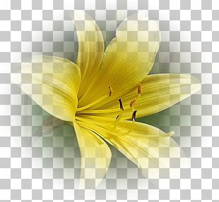 Yellow Flower Red White PNG
