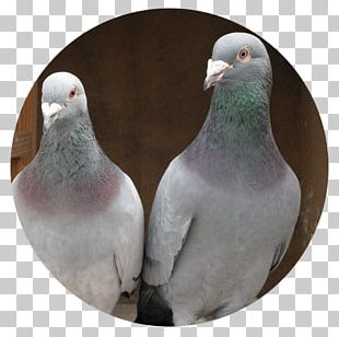 Homing Pigeon Racing Homer Columbidae Bird Pet PNG