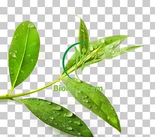 Tea Tree Oil Green Tea Tea Plant Essential Oil PNG