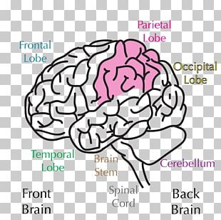 Lobes Of The Brain Parietal Lobe Parietal Bone Frontal Lobe PNG