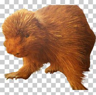 Beaver Fur Terrestrial Animal Snout PNG
