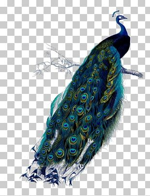 Bird Asiatic Peafowl Feather Green PNG