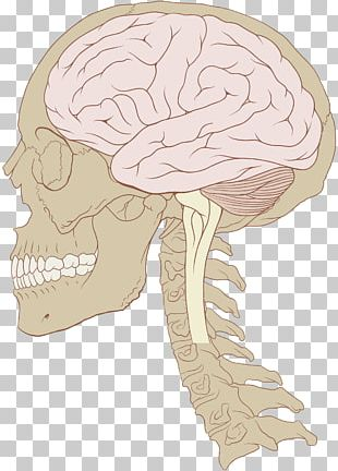 Human Brain Skull Nervous System Brain Size PNG