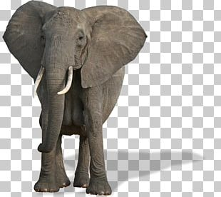 African Bush Elephant World Elephant Day African Forest Elephant Mammal Species Of The World PNG