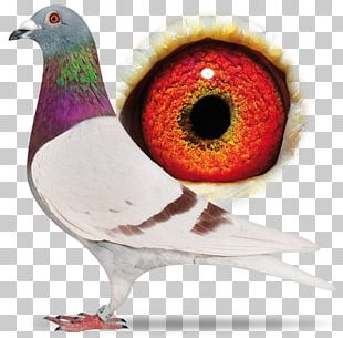 Racing Homer Homing Pigeon Bird Columbidae Fancy Pigeon PNG