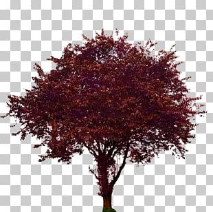Tree Maple Plum Woody Plant PNG