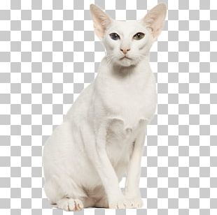 Balinese Cat Oriental Shorthair Burmilla Whiskers Domestic Short-haired Cat PNG