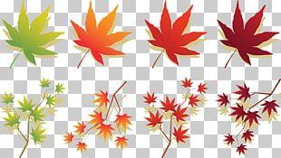 Maple Leaf Japanese Maple Autumn Leaf Color PNG