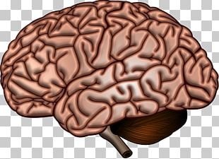 Human Brain Anatomy Neuroscience Cerebral Cortex PNG
