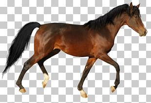 Clydesdale Horse Arabian Horse American Quarter Horse Tennessee Walking Horse American Paint Horse PNG