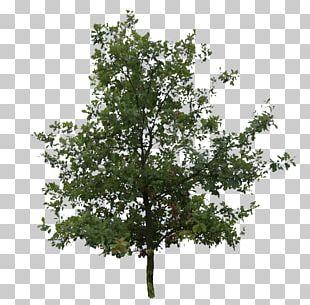 English Oak Southern Live Oak Tree Northern Red Oak Plant PNG