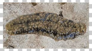 Sea Cucumber As Food Gamat Stichopus Horrens Deep Sea Fish PNG