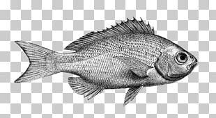 Northern Red Snapper Tilapia Fish Products Barramundi Perch PNG