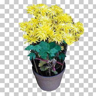 Chrysanthemum Flowerpot Bonsai PNG