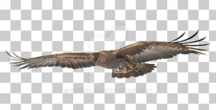 Bald Eagle Bird Hawk Golden Eagle PNG