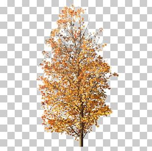 Tree Maple Photography PNG
