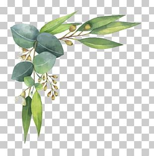 Eucalyptus Polyanthemos Watercolor Painting Illustration PNG